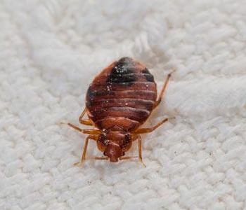 bed-bugs1